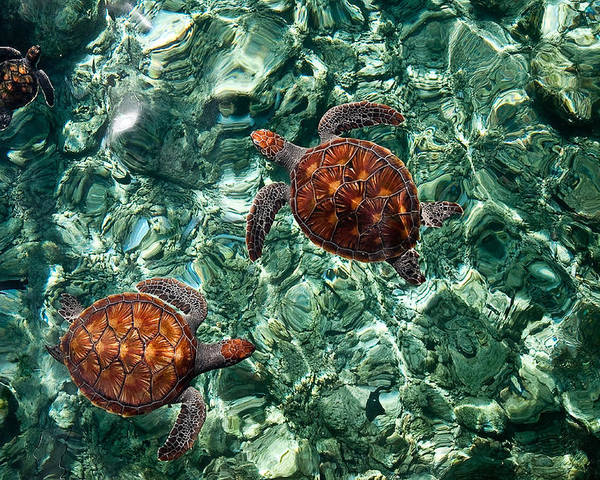 Maldives Poster featuring the photograph Fragile Underwater World. Sea Turtles In A Crystal Water. Maldives by Jenny Rainbow