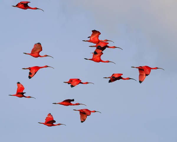 Scarlet Ibis Poster featuring the photograph Frankly Scarlet by Tony Beck