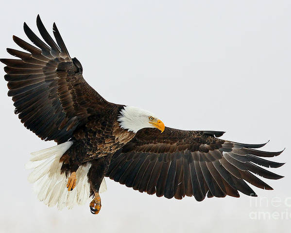 Eagles Poster featuring the photograph Free Fallin by Bill Singleton