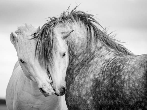 Horse Poster featuring the photograph Friends II by Tim Booth