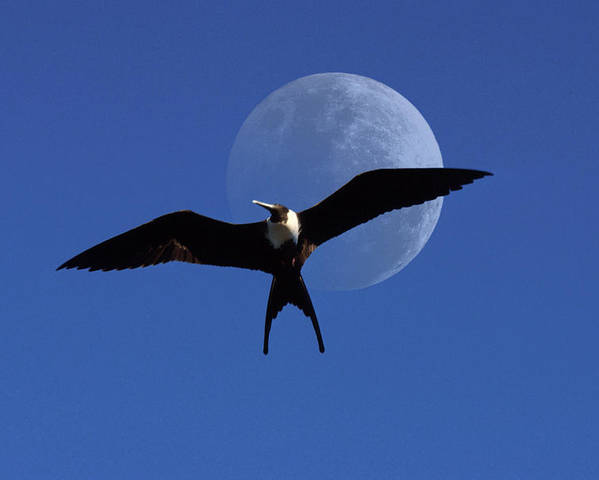 Frigate Poster featuring the photograph Frigatebird Moon by Jerry McElroy