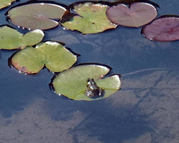 Frog Poster featuring the photograph Frog On A Lilypad by Lorrie M Nelson