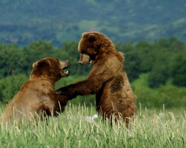 Bears Poster featuring the photograph Frolicking Grizzly Bears by Patricia Twardzik