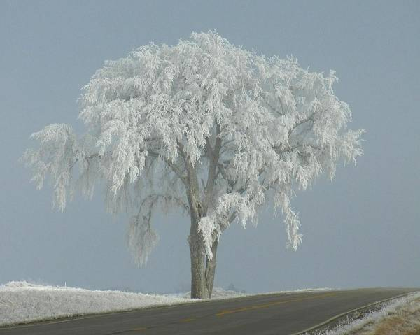 Landscape Poster featuring the photograph Frost Covered Lone Tree by Penny Meyers