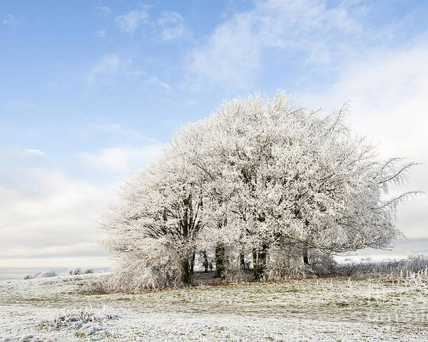 Blue Poster featuring the photograph Frosted Copse by Anne Gilbert