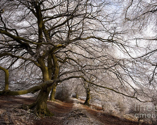 Bare Poster featuring the photograph Frosted Path by Anne Gilbert