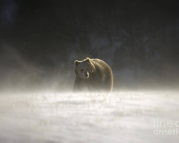 Grizzly Bear Poster featuring the photograph Blizzard Bear by Wildlife Fine Art