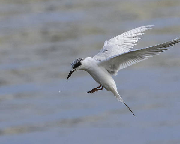 Tern Poster featuring the photograph Full Stall by Charles Warren