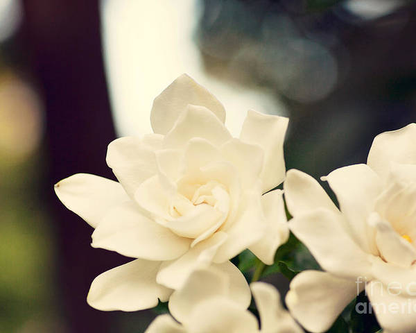Summer Poster featuring the photograph Gardenias by Erin Johnson