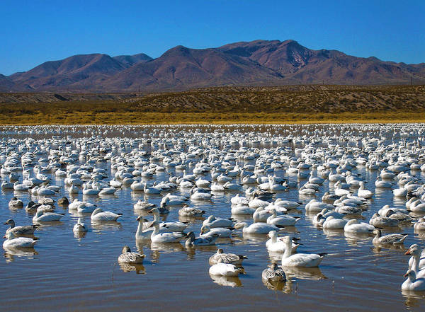 Geese Poster featuring the photograph Geese At Bosque Del Apache by Kurt Van Wagner
