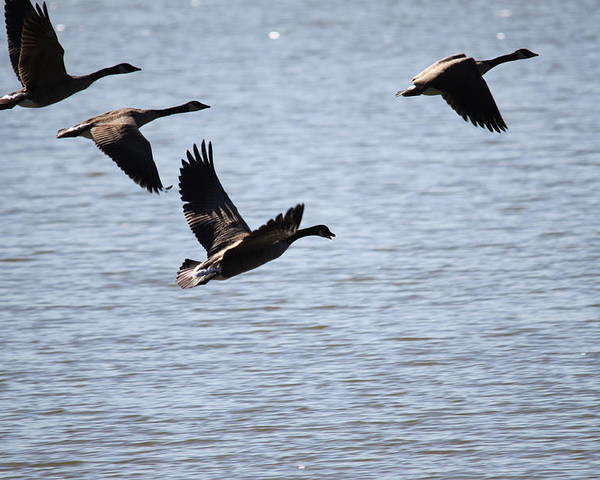 Canada Geese Poster featuring the photograph Geese In Flight by Nancy Tardiff