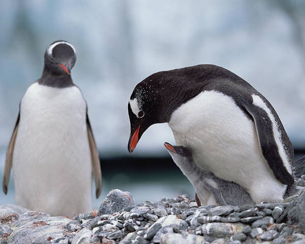Feb0514 Poster featuring the photograph Gentoo Penguin With Chick Begging by Konrad Wothe