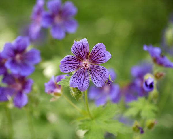 Geranium Himalayense Poster featuring the photograph Geranium Himalayense by Frank Tschakert