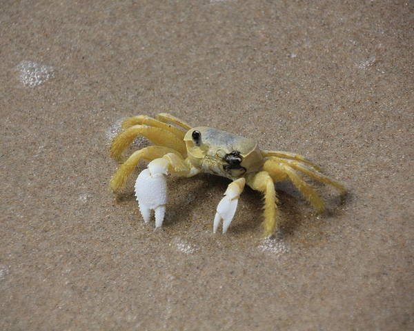 Ghost Crab Poster featuring the photograph Ghost Crab by Becky Canterbury