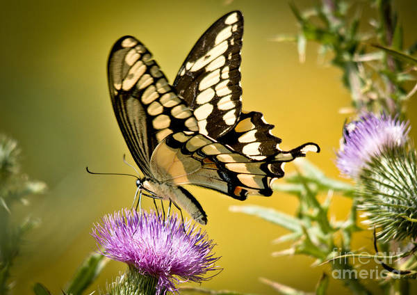 Poster featuring the photograph Giant Swallowtail On Thistle by Cheryl Baxter