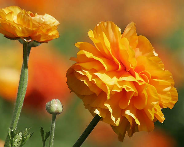 Field Poster featuring the photograph Giant Tecolote Ranunculus - Carlsbad Flower Fields Ca by Christine Till