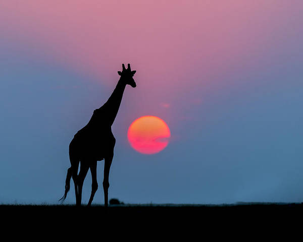 Nis Poster featuring the photograph Giraffe At Sunset Chobe Np Botswana by Andrew Schoeman