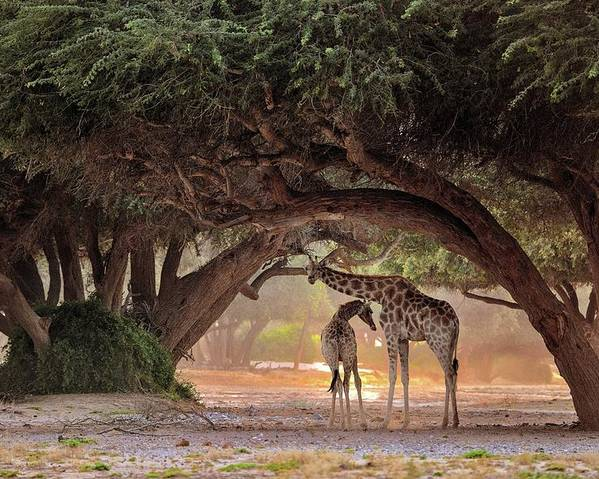 Nature Poster featuring the photograph Giraffe - Namibia by Giuseppe D\\\'amico