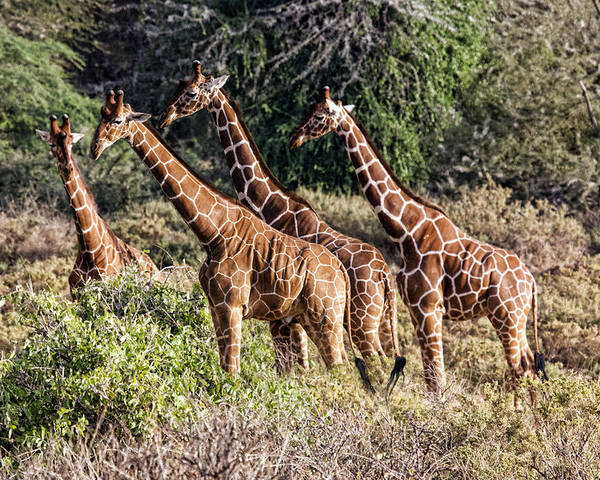 Group Four Giraffes Wild Kenya Africa Poster featuring the photograph Giraffes Galore by Wendy White