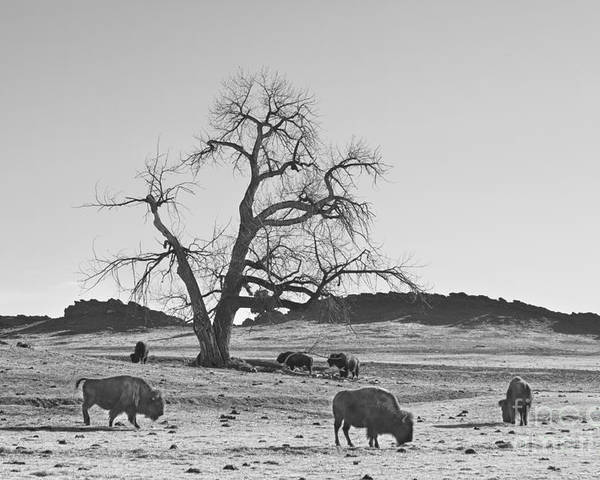 Buffalo Poster featuring the photograph Give Me A Home Where The Buffalo Roam Bw by James BO Insogna