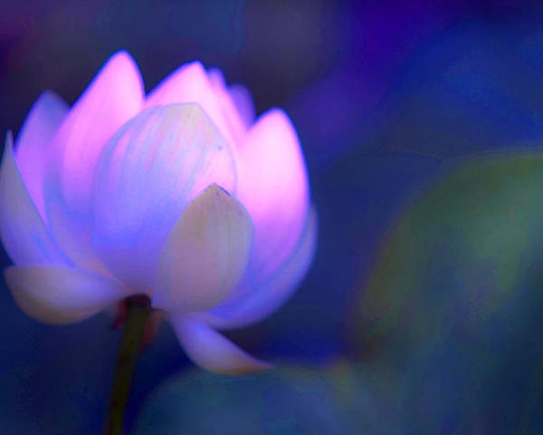 Lotus Poster featuring the photograph Glow Of Inner Truth. Impressionism by Jenny Rainbow