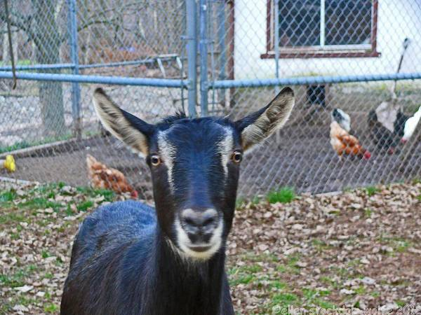 Animal Photography Poster featuring the photograph Goat And Chickens by Ellen Stockdale Wolfe