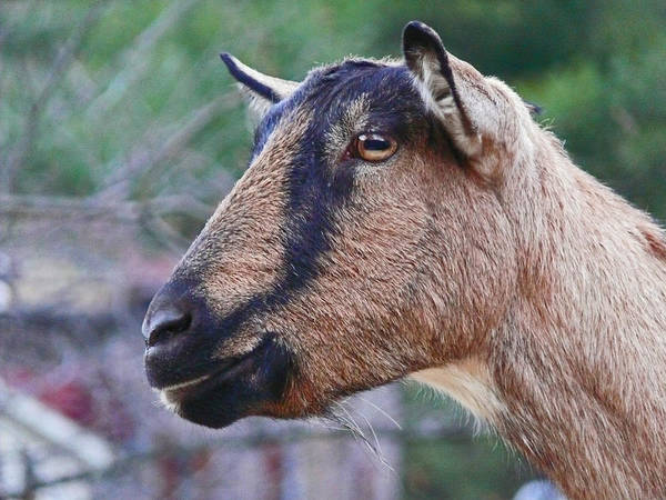 Animal Photography Poster featuring the photograph Goat In Profile by Ellen Stockdale Wolfe