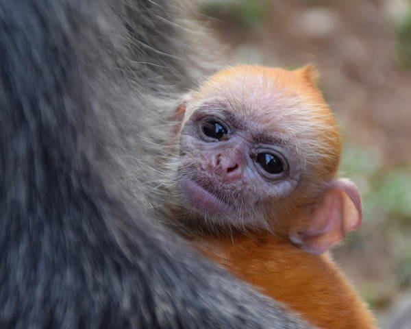 silverleaf monkey baby poster featuring the photograph golden baby monkey by puganes kumar