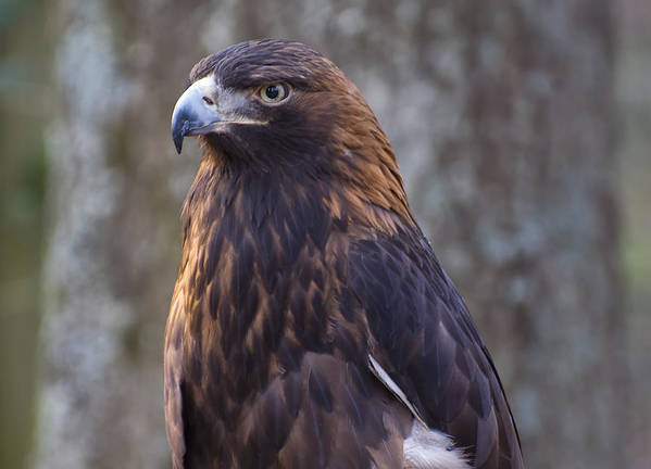 Eagle Pictures Poster featuring the photograph Golden Eagle 3 by Chris Flees