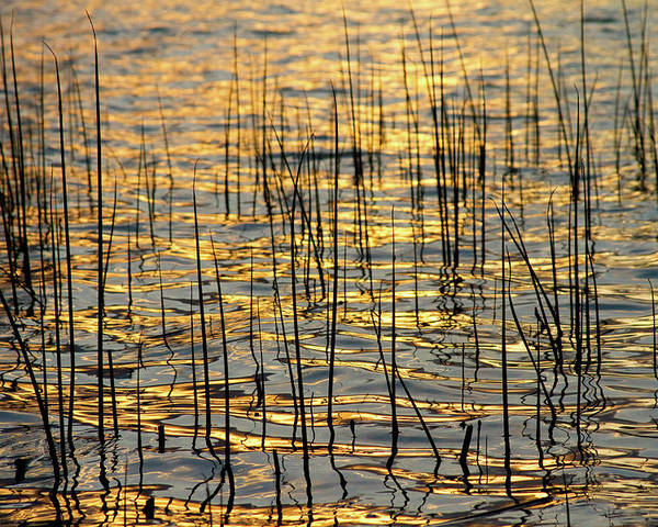 Golden Poster featuring the photograph Golden Lake Ripples by James BO Insogna