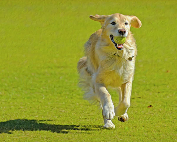 Danita Delimont Poster featuring the photograph Golden Retriever Running On A Green by Rona Schwarz