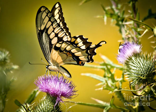Poster featuring the photograph Golden Swallowtail by Cheryl Baxter