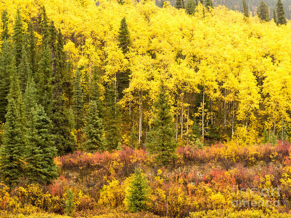 Aspen Poster featuring the photograph Golden Yellow Fall Boreal Forest In Yukon Canada by Stephan Pietzko