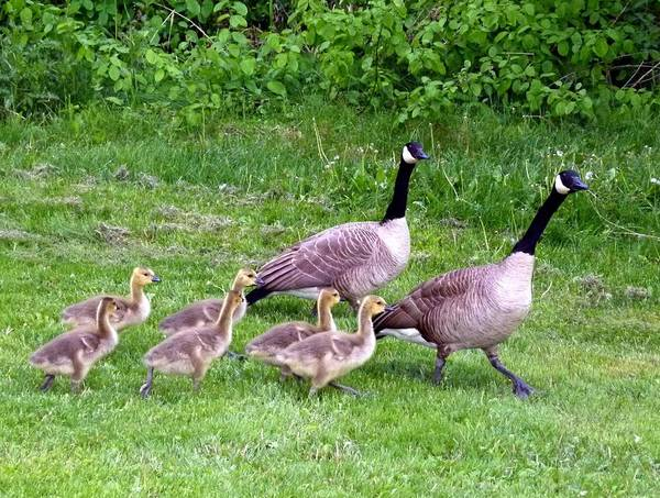 Canada Geese Poster featuring the photograph Goose Step by Will Borden