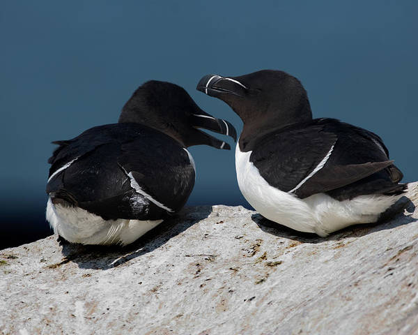 Razorbill Poster featuring the photograph Gossip Mongers by Brent L Ander