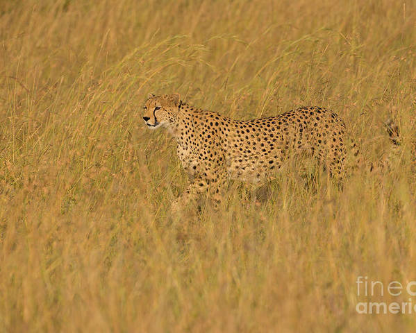 Acinonyx Jubatus Poster featuring the photograph Grace And Elegance by Ashley Vincent