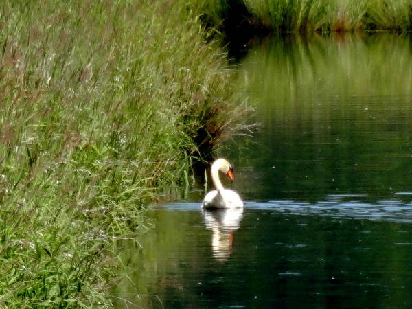 Steigerwald National Wildlife Refuge Poster featuring the photograph Graceful Swan by Lizbeth Bostrom