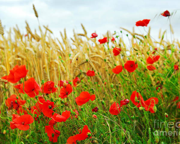 Poppy Poster featuring the photograph Grain And Poppy Field by Elena Elisseeva