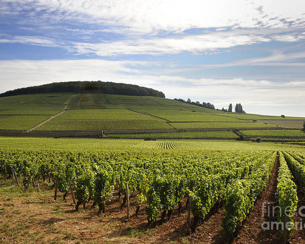 Agriculture  Poster featuring the photograph Grand Cru And Premier Cru Vineyards Of Aloxe Corton. Cote De Beaune. Burgundy. by Bernard Jaubert