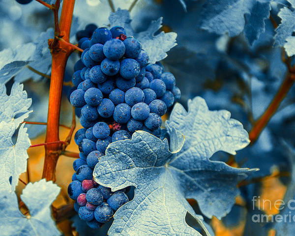Blue Poster featuring the photograph Grapes - Blue by Hannes Cmarits