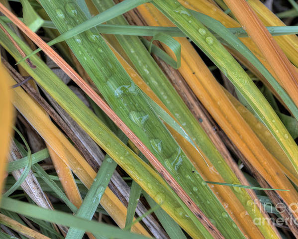 Grass Poster featuring the photograph Grass Droplets by Deborah Smolinske