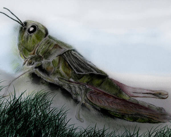 Grasshopper Poster featuring the drawing Grasshopper Resting by Cynthia Adams
