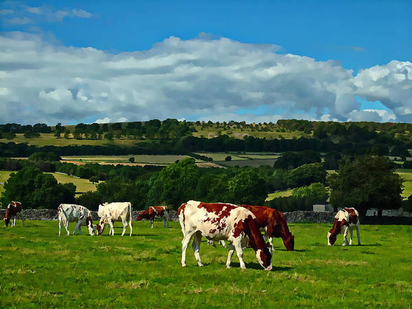 Cows Poster featuring the photograph Grazing Cows by Kevin Round