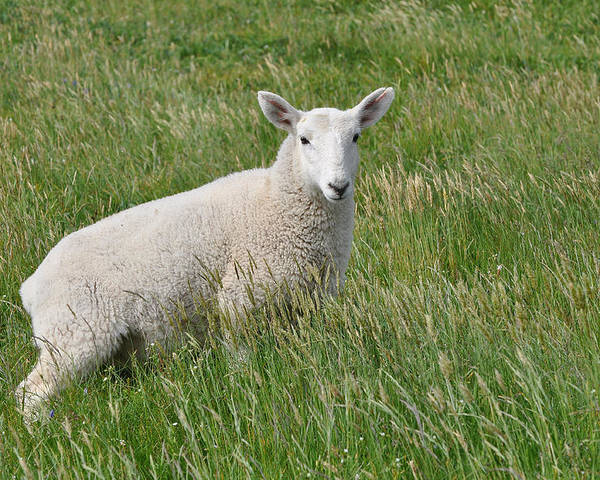 Sheep Poster featuring the photograph Grazing In The Grass by Colleen English
