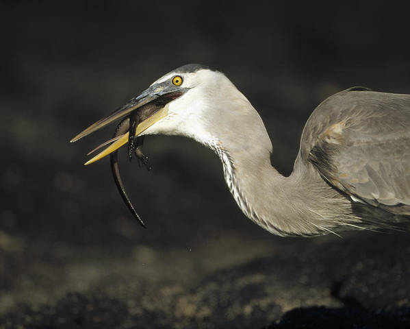 Feb0514 Poster featuring the photograph Great Blue Heron Eating Marine Iguana by Tui De Roy