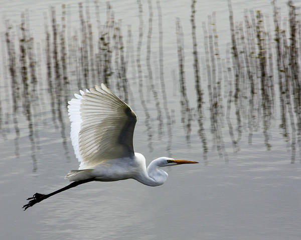 Bird Poster featuring the photograph Great Egret At Fern Hill by Ray Finch