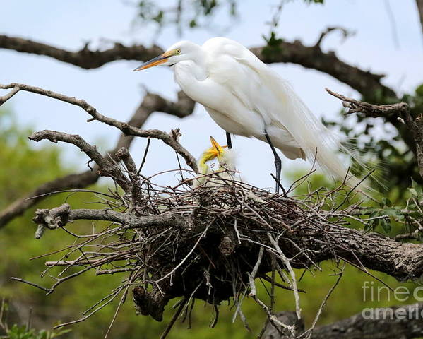 Egret Poster featuring the photograph Great Egret Chicks - Sibling Rivalry by Carol Groenen