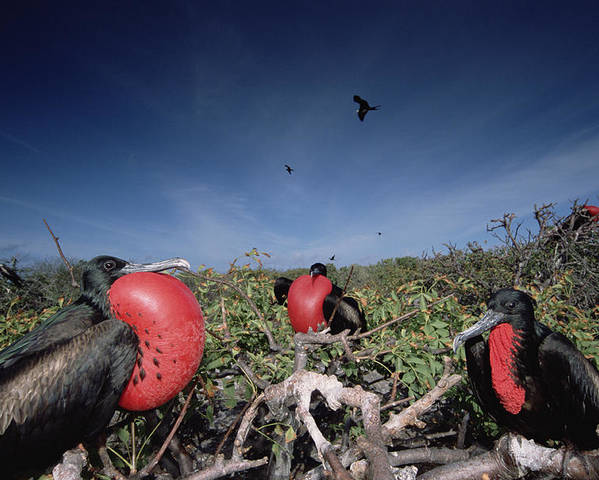 Feb0514 Poster featuring the photograph Great Frigatebird Males In Courtship by Tui De Roy