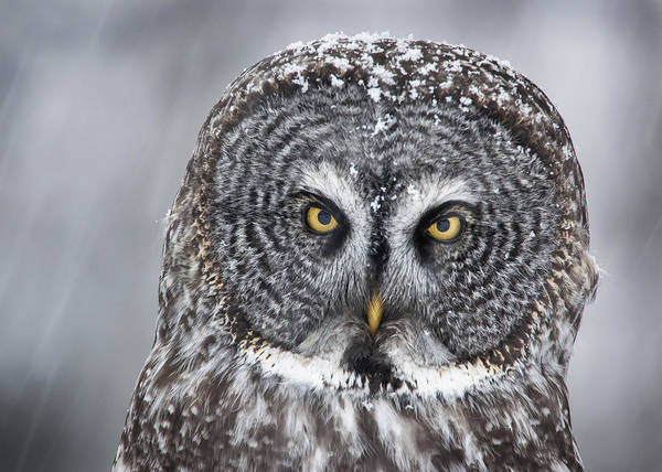 Nis Poster featuring the photograph Great Gray Owl Scowl Minnesota by Benjamin Olson