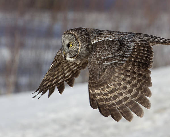Animal Poster featuring the photograph Great Grey Owl In Flight by Jakub Sisak